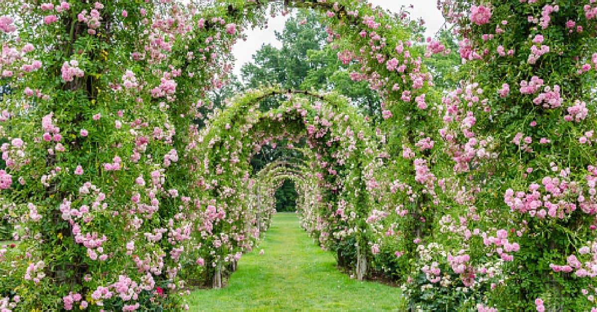 The pink, rose-covered archways in Elizabeth Park