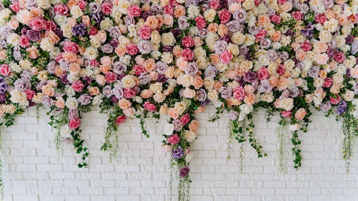 Beautiful Decorative Colorful Roses on Brick Wall. Wedding Party Decor Detail. Delicate Clambering Plant Blossom Pastel Flower on White Background. Elegant Arrangement Floristics Settin