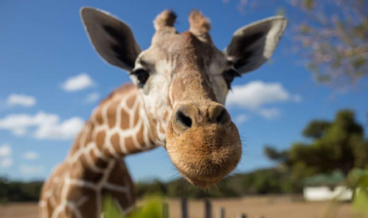 Giraffe in front of Kilimanjaro mountain - Amboseli national park Keny